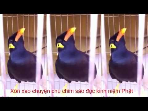 Xôn xao chuyện chú chim sáo đọc kinh niệm Phật ở Tiền Giang