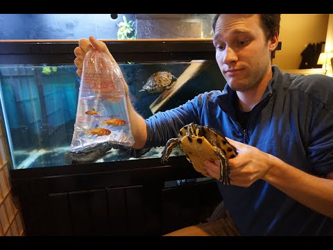 Can Fish Live With Your Pet Turtle? - Let's Try!