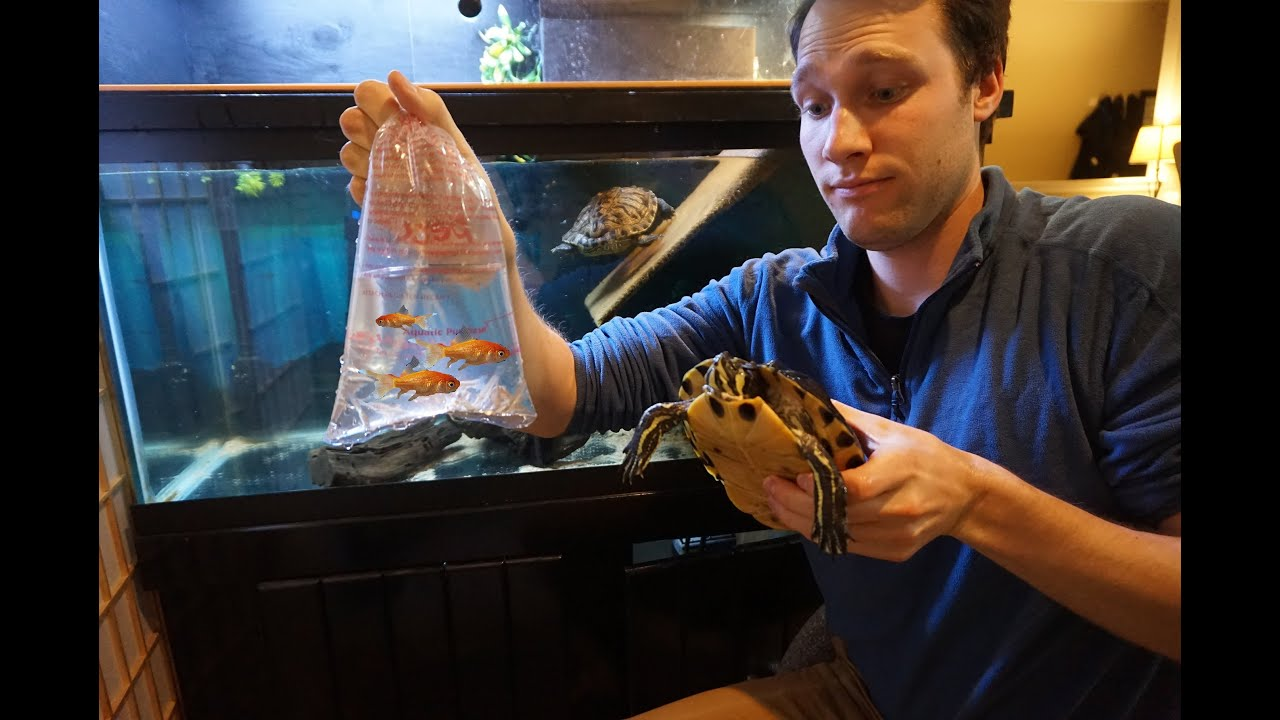 Can Fish Live With Your Pet Turtle Let S Try Youtube
