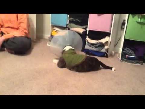 Cone head dog chase