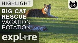 Tigers Lounge At Big Cat Rescue - Live Cam Highlight