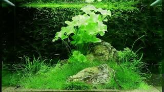 Оформление аквариума на 100 литров от Tropica(Оформление аквариума построено на сочетании светло-зеленых растений с создающими темно-зеленый контраст..., 2013-06-30T20:37:55.000Z)