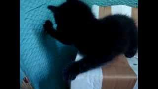 Черный котенок изучает мир