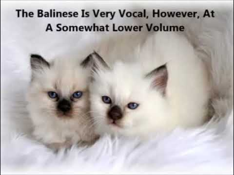 Balinese Kittens for Sale, by Pets4You.com