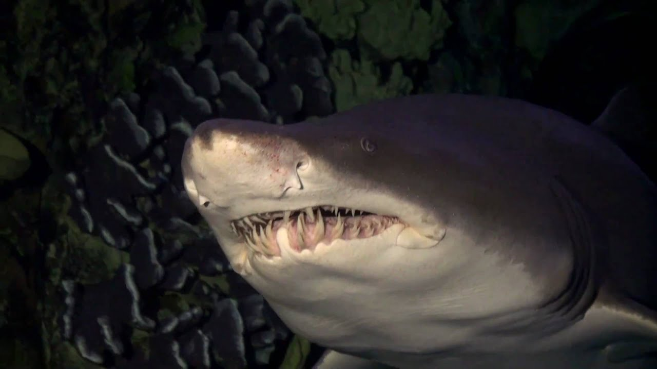 how to draw a sand tiger shark
