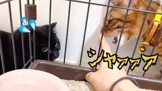 先住猫ニコがナナの偽物(保護猫)が現れたと怒ってます!