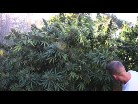 Mendocino County; Marijuana Outdoor Grow Full Season Part 3