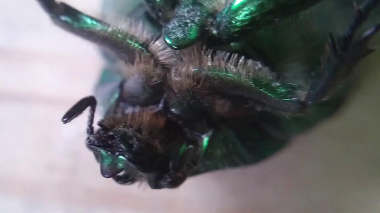 Escarabajo de Armadura Metálica Verde!!
