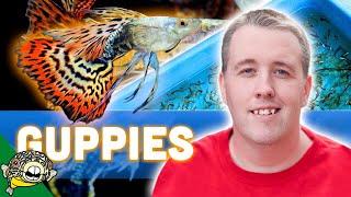 Guppies, My Desert Island Fish Presentation thumbnail
