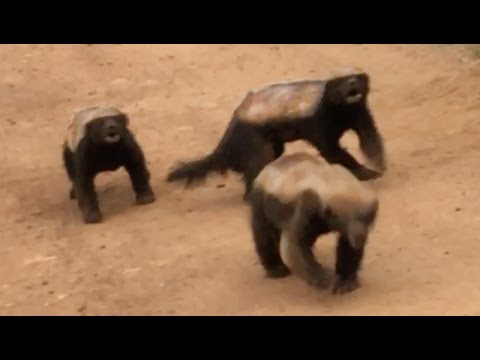 3-honey-badgers-fighting-in-the-road