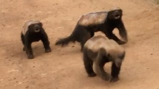 3 Honey Badgers Fighting in the Road
