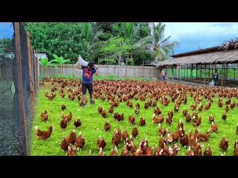 Free-range Chicken Farming ( Episode 59)│Harvesting hundreds of eggs & Feeding 800 native chickens