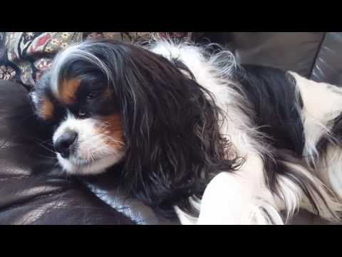 Tri-color Cavalier King Charles Spaniel - Sleep Barking