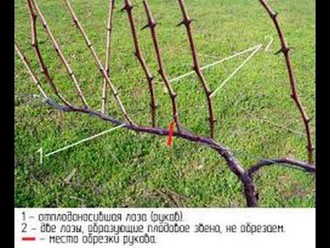 обрезка виноградника осенью видео
