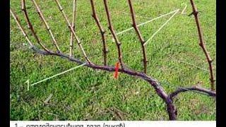 обрезка винограда осенью. Приусадебное хозяйство.