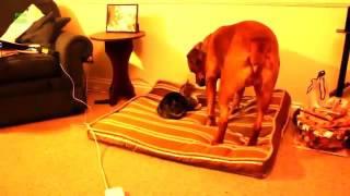 Kucing lucu merebut tempat tidur anjing
