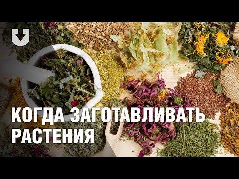 Тысячелистник обыкновенный, Трава, цветки тысячелистника