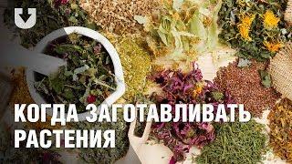 Как собирать лечебные травы и растения