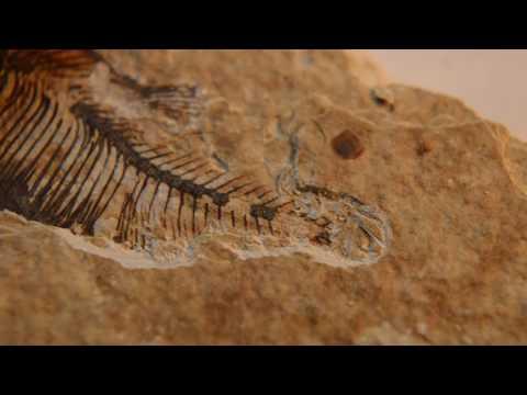 Preparing Knightia Fish Fossil