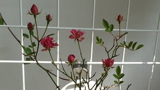 장미꽃 보다 더 예쁘고 오래가는 사계겹찔레꽃 행잉으로 …