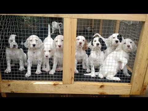 Sweet Point's Setter Tales (S2, E6) Puppies Journey