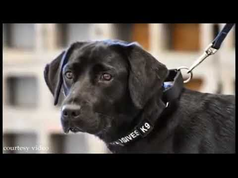 CIA dog trainee quits explosives school in favor of  sniffing out rabbits and squirrels    World   t