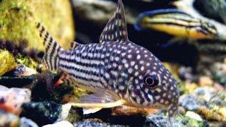 Сомики - coridoras sterba in aquarium
