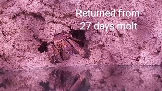 Hermit Crab Returns From Molt Bigger than Ever