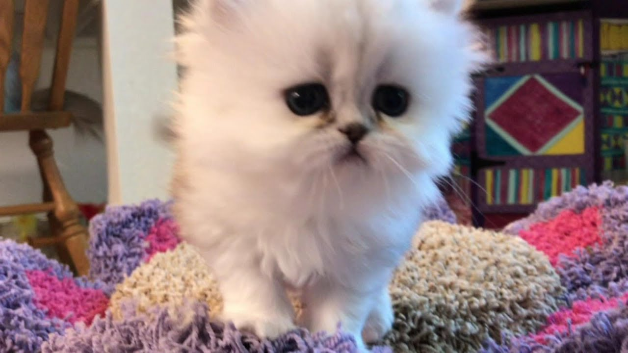 17 07 16 Cute Persian Kittens of the L Litter