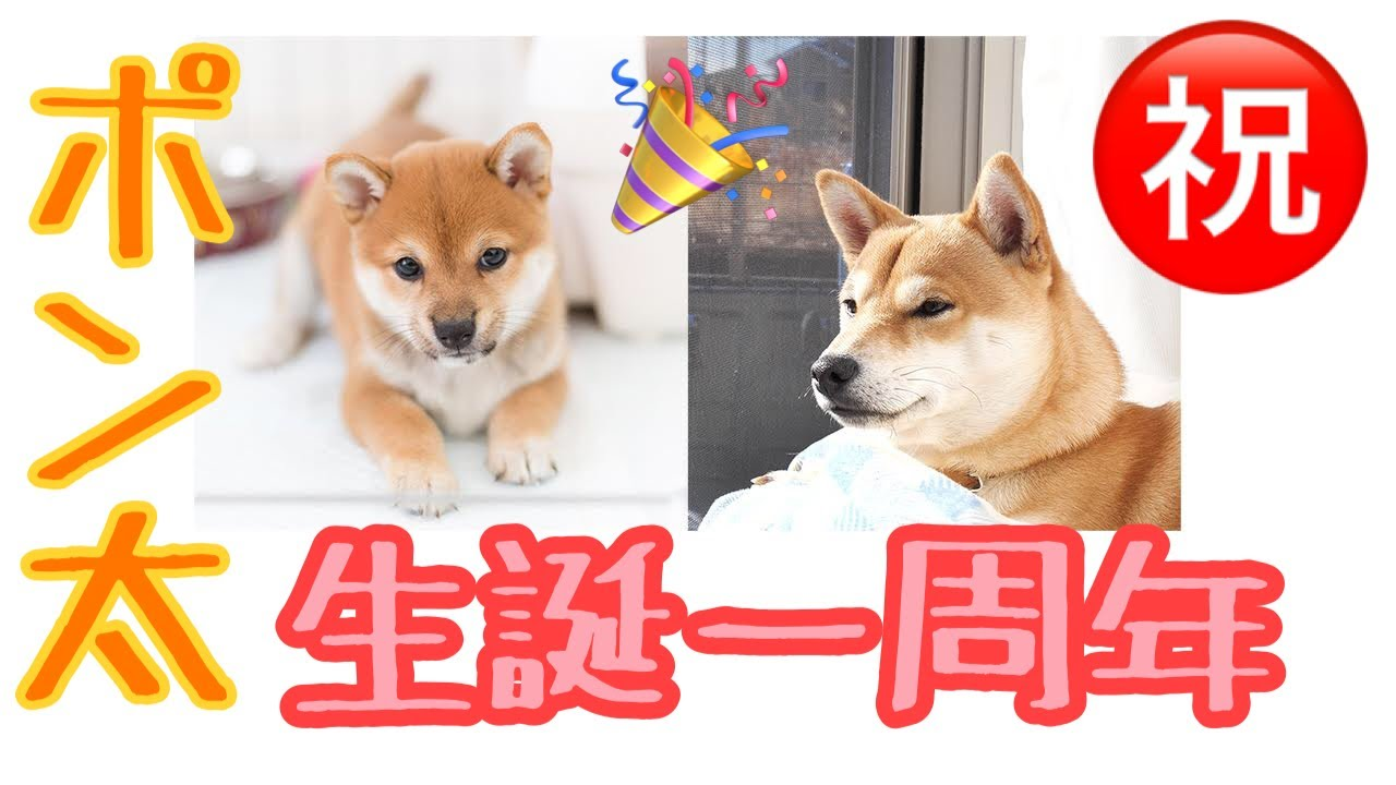 豆柴ポン太君 生誕1周年記念動画 元気に育ってくれました!