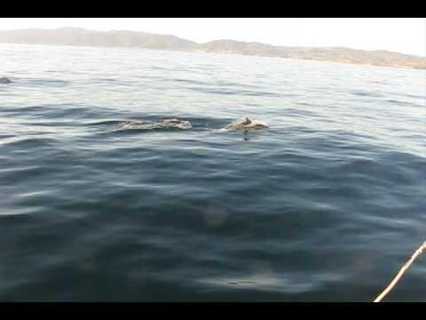 Dolphins Santa Monica Bay