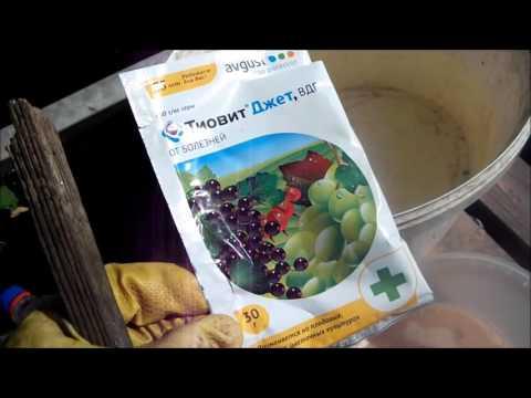 Обработка винограда от клеща | вредителями | инсектицид | вредители | виноград | борьба | сад | с