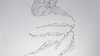 How to Draw and Sketch Allamanda Type Flower using Pencil