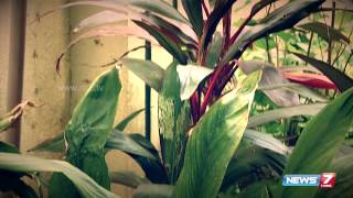 Poovali 01-09-2015 Yes, you can grow Arrowroot plant in your garden! | News7 Tamil tv shows 1st September 2015 at srivideo