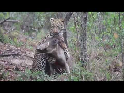 Thumbnail: Fight to the death...Leopard vs Warthog