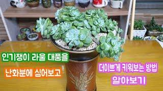 인기가많은 라울 대품을 난화분에 분갈이및 이쁘게 키우는방법~!! Succulent clavatum