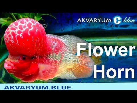 Flower Horn Üretimi