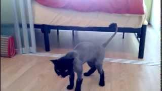 cat's haircut, scottish straight {стрижка}