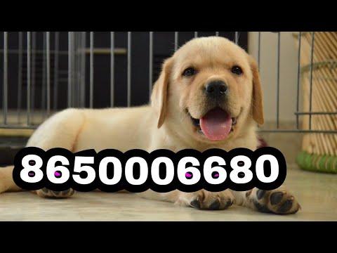 Patna Labrador puppies & Dog || Pet & Dog House - Patna Bihar delivery 8650006680 Rohit Dog kennel