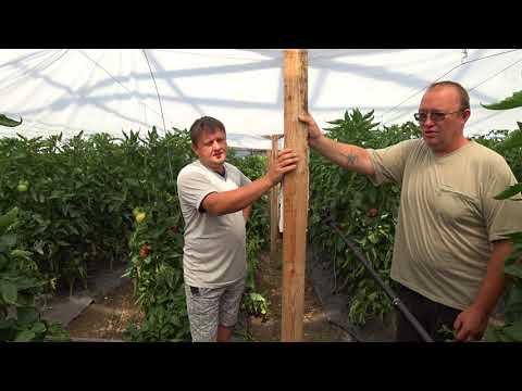 Розовый томат в теплице Романа Воробьёва с технологиями от Творницы