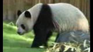 Panda Bear Tian Tian Enjoys The Snow At The National Zoo In Washington, DC (VIDEO)