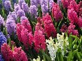 Breathtaking Landscape of Hyacinth...