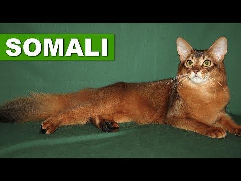 SOMALI – GUIA DA RAÇA – QUATRO PATAS