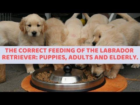 The Correct Feeding Of The Labrador Retriever: Puppies, Adults And Elderly