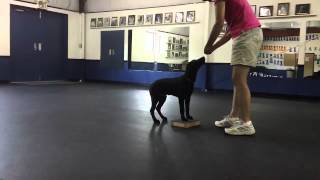 Nathan Practices Utility At 16 Weeks: Dog Training With Connie Cleveland