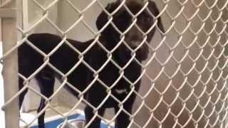 Dallas - A168207 2.5yo Neutered Male, Black Labrador Retriever