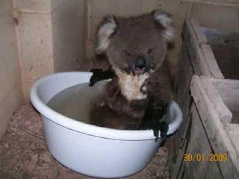 Thirsty Koala-Help Your Local Lifeforms-. Koala Edition.