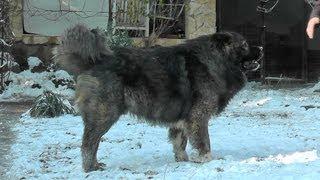 """Aramisz """"Igor"""" 3,5 years old male (son of Tskaro Ervaz and Vika de Cazasu)"""