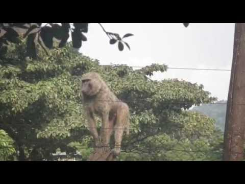 Conservation in the Cameroon rainforest - gorillas and chimpanzees