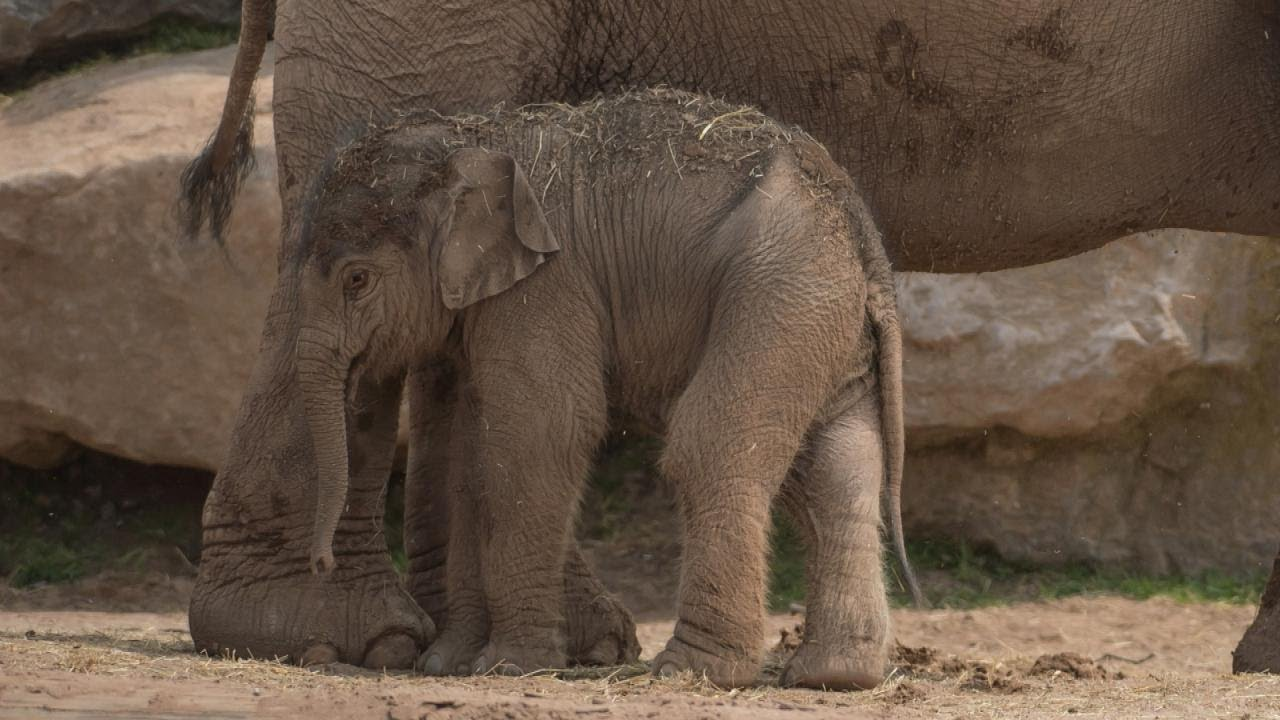 elephant-gives-birth-to-calf-3-months-after-due-date